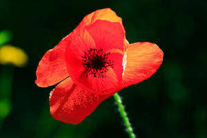 Perfect Poppy by SamVN