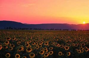 sunflower field by seraphRo