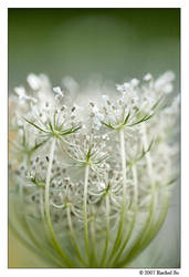 Queen Anne's Lace Basket I by butterfly36rs
