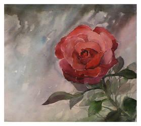 Rose by paczek