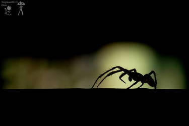 Spider silhouette by MorpheusPhotoworks