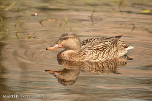 Duck by AgnethaArt