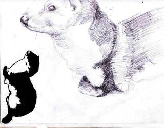 weasel study by aaronAdrian