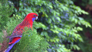 Crimson Rosella 1 by Tamamantix