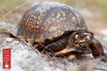 Box turtle by harlanm