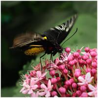 Butterfly IV by GreenEyedHarpy