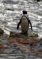 Lonely penguin by Martina-WW