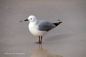 Seagull by Martina-WW