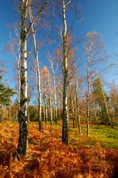 birches by Elhzar