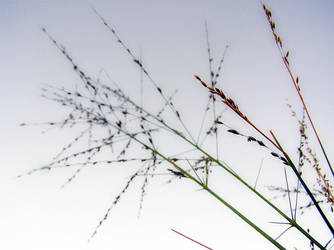 Tall weed by Kudoshido
