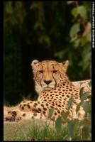 Cheetah. by leopatra-lionfur
