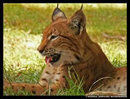 Silly Lynx by leopatra-lionfur