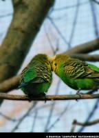Budgie Kisses by leopatra-lionfur