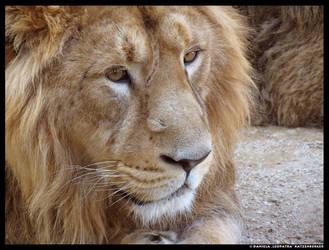 Lion 3 by leopatra-lionfur