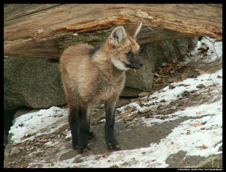Maned Wolf Puppy by leopatra-lionfur