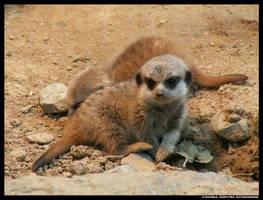 Meerkat Baby by leopatra-lionfur