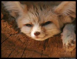 Resting Fennec by leopatra-lionfur