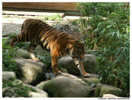 Tiger Walking by leopatra-lionfur