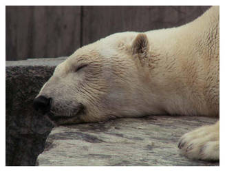 ZzzZ Polar Bear by leopatra-lionfur