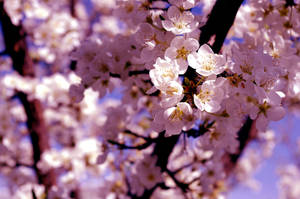 blossoms by Lillie-Lothroniel