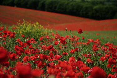 South Downs Poppies II by MaX-DooM