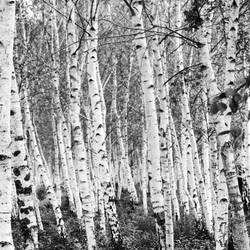 birch trees by pixilate