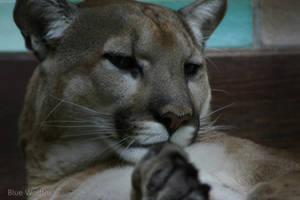 Puma. by VitaniFox85