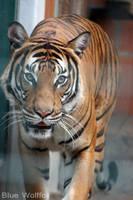 Tigress by VitaniFox85
