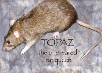 Topaz, the one-eared rat queen by tyrsia