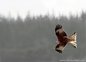 Red Kite I by ERB20