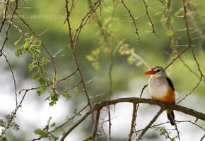 Grey-Headed Kingfisher by ERB20