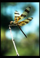 Dragonfly by shuttermonkey