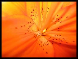 Flowers For You:Orange by shuttermonkey