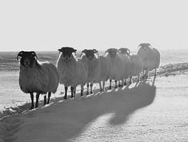 Sheep in the Snow, Ireland III by younghappy