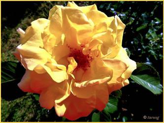 Yellow rose by Lupsiberg
