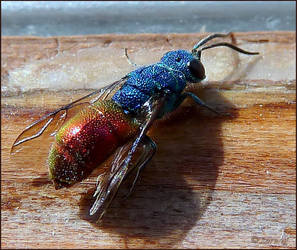 Ruby-tailed wasp by Lupsiberg