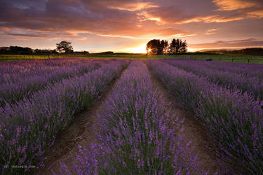 Lavender Dawn by chrisgin