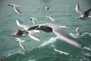 Seagull Beauty by ssonmez