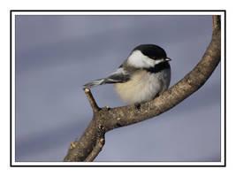 Winter Chickadee by dove-51