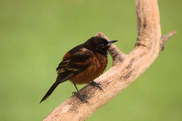 Orchard Oriole by dove-51