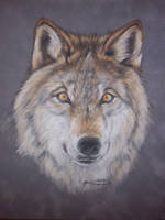 grey wolf by Raksha-the-Demon