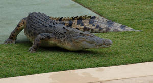 Crocodile Stock 10 by Chunga-Stock