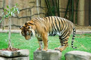 18 tiger on rock by Chunga-Stock