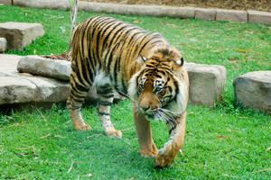 19 Tiger by Chunga-Stock