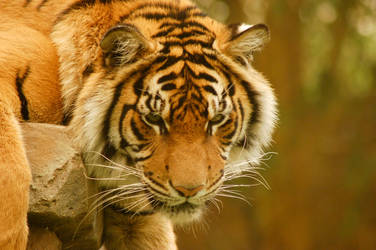 51 Tiger close up by Chunga-Stock