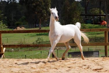 Arabian strike a pose by Chunga-Stock