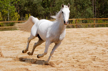 Arab gallop past look at cam by Chunga-Stock