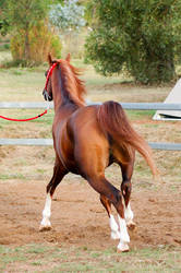 RA trot from behind halter by Chunga-Stock