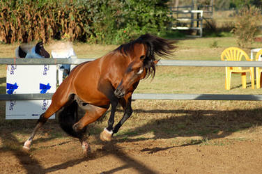 JA Bay Rearing and Leaping to side by Chunga-Stock