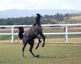 GE Arab filly grey rearing head twist low qual by Chunga-Stock
